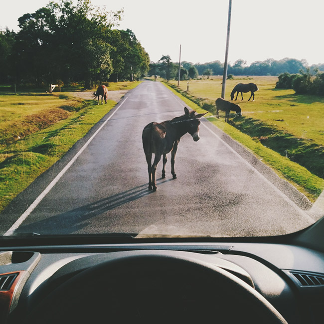 New Forest Donkey on Road