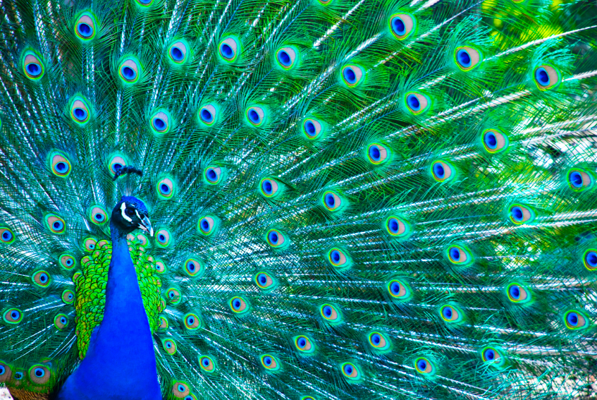 Peter the Positive Peacock